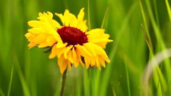 Close up of yellow flower with red center amongst blades of grass close up of yellow flower with red center amongst blades of grass stock video footage dissolve mightylinksfo