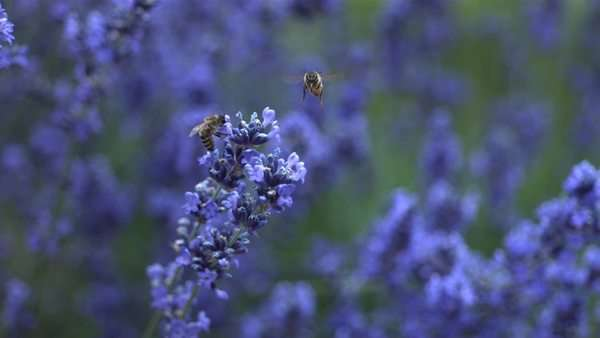 Honey bees on lavender plant, slow motion Royalty-free stock video