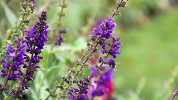 Two bees fly near purple flowers and land on them to collect nectar Royalty-free stock video