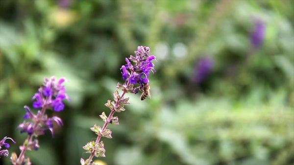 A bee collecting nectar on purple flower. Background is out of focus Royalty-free stock video