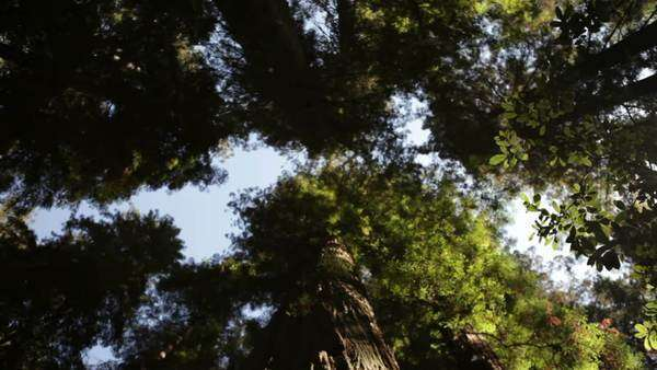 Low shot, small pan, through pine forest looking up to the trees' canopies. Light blue sky contrasts the dark green trees. California. Royalty-free stock video