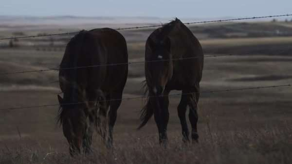Long shot of horses grazing on field next to barbed wire fence Royalty-free stock video