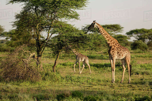Giraffes Eating Leaves From Trees On Field Stock Photo