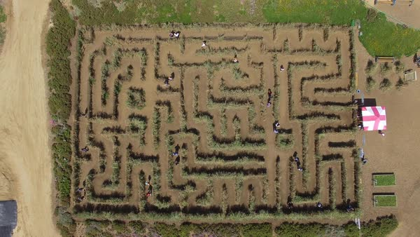 Top view shot of people walking in a sweet pea maze in Carlsbad Royalty-free stock video