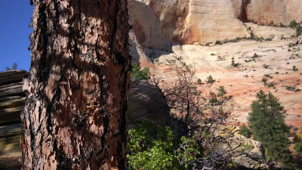 Panning down a tree in the desert of Zion National Park Royalty-free stock video