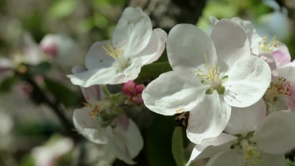 Floral garden close up shot of a branch of a blossoming apple tree close up shot of a branch of a blossoming apple tree with white flowers giving a sweet smell stock video footage dissolve mightylinksfo