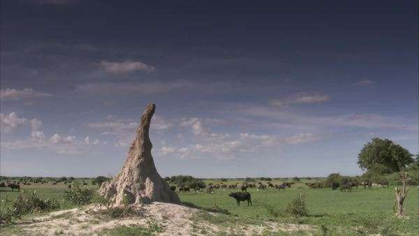 Establishing shot of a chimney form ant hill with a buffalo herd in  background stock footage