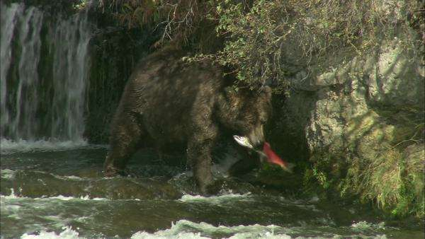 Tracking shot of a grizzly bear walking with a fish in mouth Rights-managed stock video