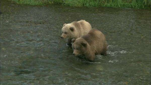 Tracking shot of two young grizzly bears crossing a river Rights-managed stock video
