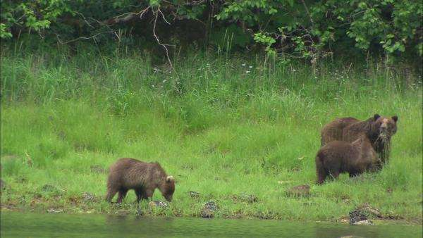 Hand-held shot of three grizzly bears in Alaska Rights-managed stock video