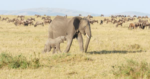 Wide shot of African elephants in a field Royalty-free stock video