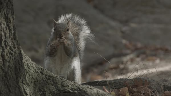 Medium shot of a squirrel feeding at a tree Royalty-free stock video