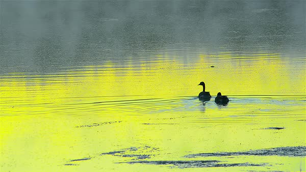 Wide shot of two geese swimming in a lake Royalty-free stock video