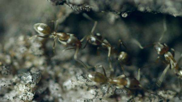 Extreme close-up shot of an ant colony Royalty-free stock video
