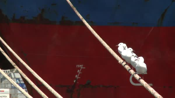 Seagulls sitting on mooring ropes of a ship in Cape Town Harbour, Cape  Town, South Africa, Africa stock footage
