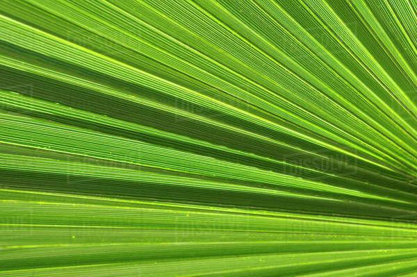 washingtonia filifera frond