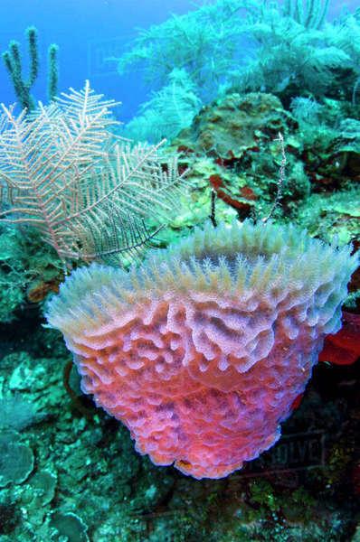 Azure Vase Sponge Callysopongia Plicifera Jardines De La Reina