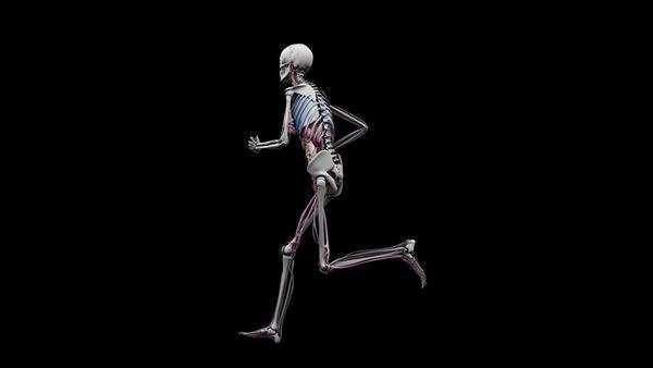 computer animation of the female body running showing internal, Muscles