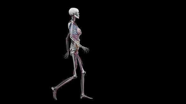 Computer animation of the female body walking showing internal computer animation of the female body walking showing internal organs on a black background side view stock video footage dissolve ccuart Images