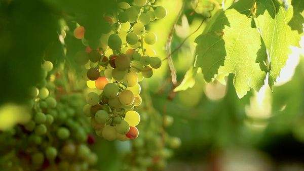 Focus pull of a bunch of grapes hanging from a vine Royalty-free stock video