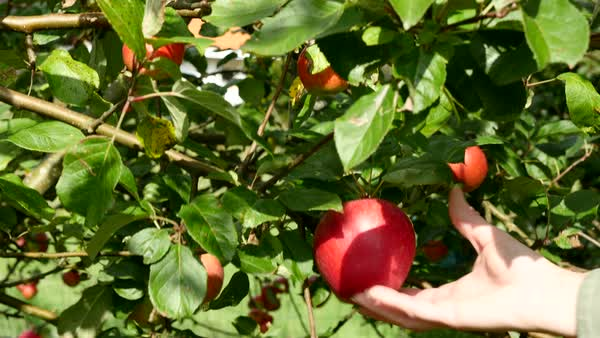Jib shot of a person picking an apple from a tree Royalty-free stock video