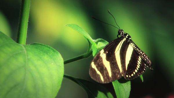 Black & white butterfly on leaf - close-up Royalty-free stock video
