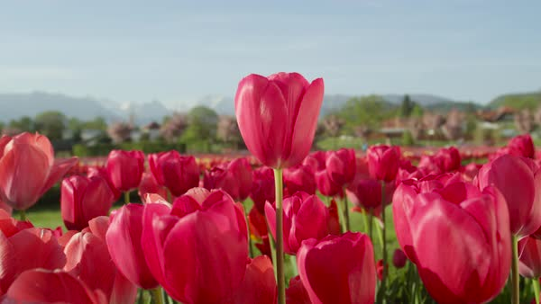 CLOSE UP, SLOW MOTION, depth of field: Amazing delicate rosy red colorful tulip bulbs blooming on vast floricultural field in touristic park near local agricultural town with high rocky mountains in background   Royalty-free stock video