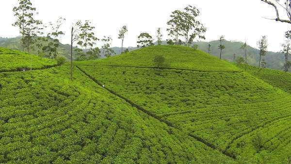 Aerial of Flying over tea plantation Royalty-free stock video