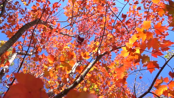 Slow Motion Close Up Red Fall Foliage Falling Off In Autumn