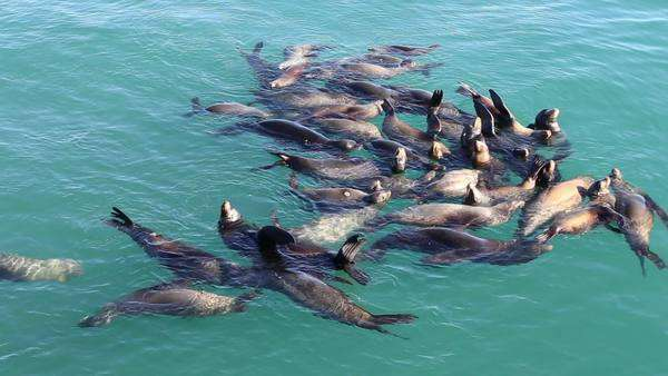 Group of sea lions in Santa Cruz California Royalty-free stock video