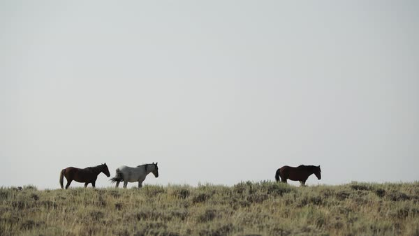 Wide shot of wild horses walking in a field in Wyoming, USA Royalty-free stock video