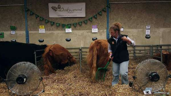 Highland Cattle Kept Cool With Electric Fans, The Great Yorkshire Show,  North Yorkshire stock footage