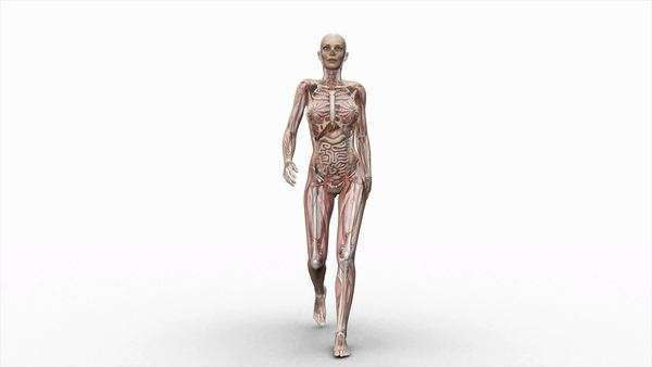 Computer animation of the female body walking showing internal organs and muscles, front view. HD master is supplied with an image mask. Royalty-free stock video