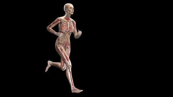 Computer animation of the female body running showing internal organs and muscles. Royalty-free stock video