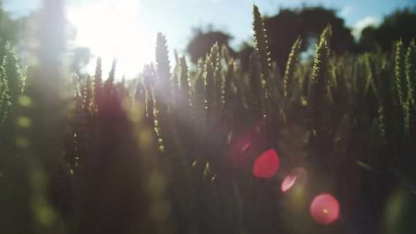 Close-up of farm field Royalty-free stock video