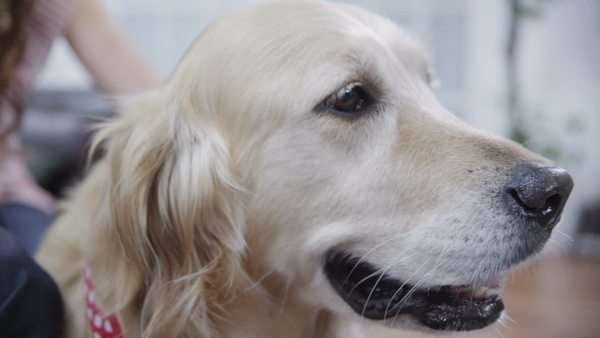 Close up shot of the family's loveable and friendly golden retriever Royalty-free stock video
