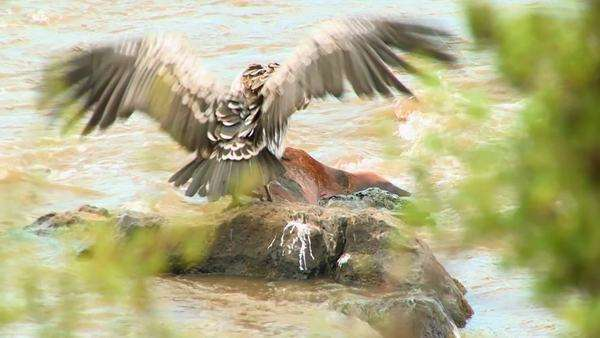 Vultures stand on a rotting corpse in a river. Royalty-free stock video