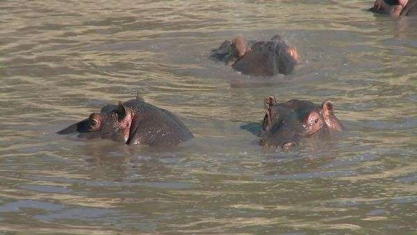 Hippos play in the water in an African river. Royalty-free stock video