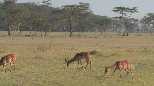African antelope graze on the plains. Royalty-free stock video