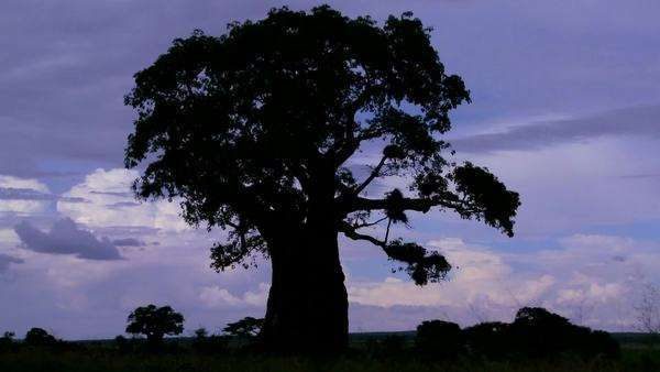 Amazing timelapse shot of clouds against a silhouetted baobab tree on the African plain. Royalty-free stock video