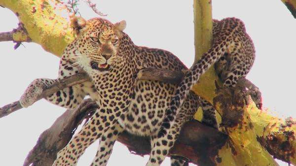 A mother leopard defends its baby in a  tree in Africa. Royalty-free stock video