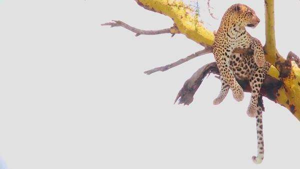 A leopard in a tree in Africa. Royalty-free stock video