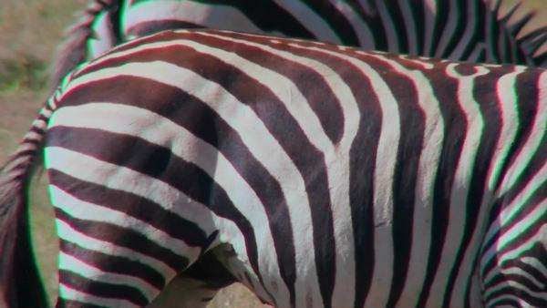 Close up of the detail of a zabra stripes. Royalty-free stock video