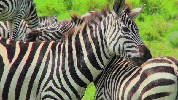 A zebra licks and bites the rump of another zebra. Royalty-free stock video