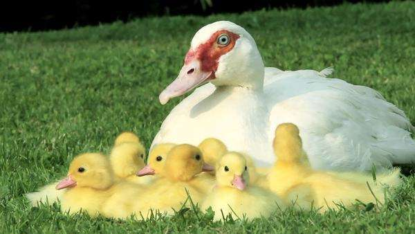 Family of ducklings sitting on grass with mother duck Royalty-free stock video