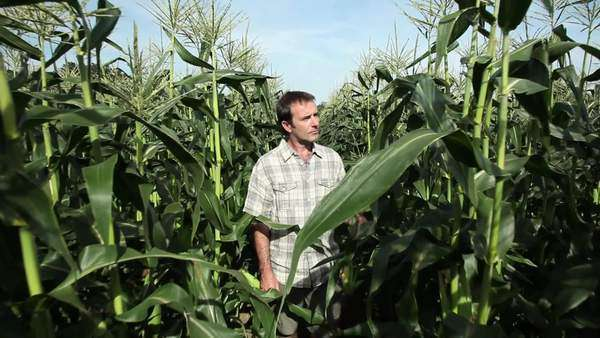 Farmer walking through corn field Royalty-free stock video