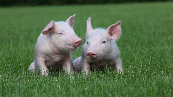 Piglets sitting on grass Royalty-free stock video