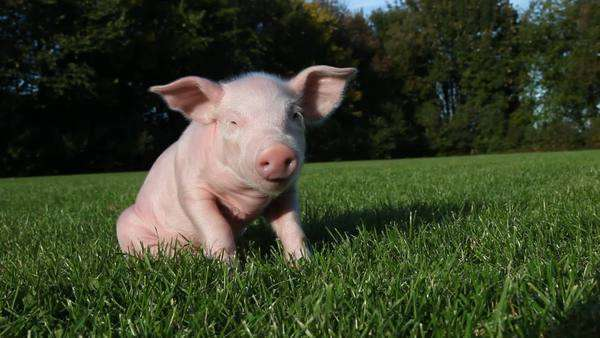Piglet sitting on grass Royalty-free stock video