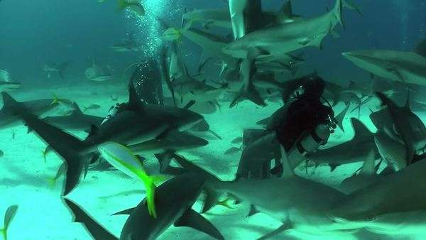 Good footage of many sharks swimming around a diver underwater. Royalty-free stock video