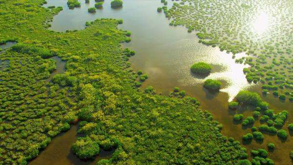 Aerial brown waters within the mangrove are nurseries for fish, mollusc and crustacean larvae that require sheltered environment before the immature animals can disperse into open waters, RED EPIC Royalty-free stock video